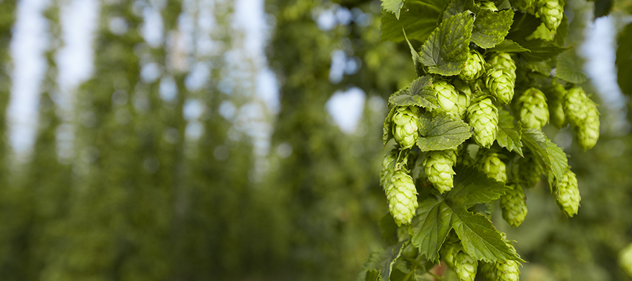 outdoor shot of ripe green summer hops in detail, field in background, wide angle